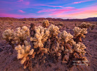 Joshua Tree National Park, vandalism, cholla, sunrise, America, Indio, CA, California, beautiful, winter, spectacular