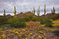 Sonoran Desert National Monument, North Maricopa Mountains, South Maricopa Mountains, Table Top Wilderness, wildflowers, poppies, spring, hike, Goodyear, Buckeye, Gila Bend