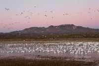 snow geese, sandhill cranes, Bosque del Apache Wildlife Refuge, NM, New Mexico, Socorro