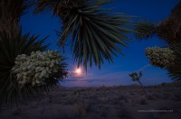 joshua tree, joshua tree national park, CA, bloom, full moon, dawn, light, creative, desert