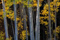 color, pattern, fall, aspen, trees, light, weminuche, wilderness, colorado