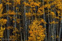 aspens, winter, autumn, san juan national forest, colorado