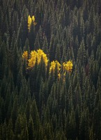 autumn, cottonwoods, forest, lodgepole pine, white spruce,  subalpine firs.