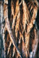 cottonwood tree, horseshoe canyon, canyonlands national park, utah, ut