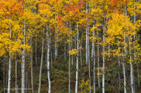 aspen, gunnison national forest, ohio creek road, CO, Colorado, golden, red, color
