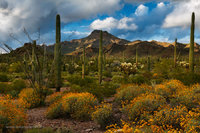 organ pipe cactus national monument, arizona, AZ, Mexico, brittle bush, Tillotson Peak, spring