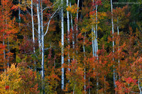 autumn, San Juan National Forest, color, aspens, CO, Colorado