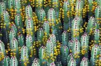 cactus, Arizona, Phoenix, Spring, bloom, colors, wonderful