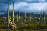 organ pipe cactus national monument, arizona, AZ, saguaro, cacti, light
