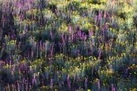 Arizona, Lupine, Brittlebrush, Apricot Mallow, desert, foothills, patterns, colors, sunlight, hillside, Phoenix, Tonto N