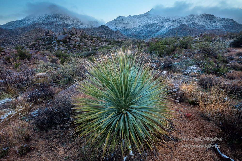desert spoon, snow, beautiful, Four Peaks Wilderness, Tonto National Forest, Arizona, morning, storm, photo