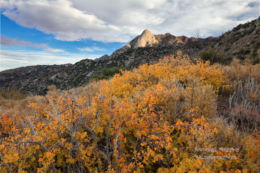 Colorful Gamble oaks decorate the rugged backcountry of the Organ Mountains in late afternoon light. Eight-thousand-foot Sugar...