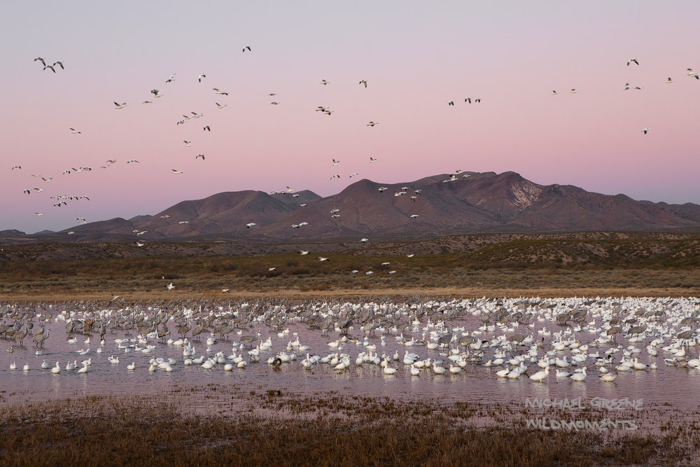 snow geese, sandhill cranes, Bosque del Apache Wildlife Refuge, NM, New Mexico, Socorro, photo