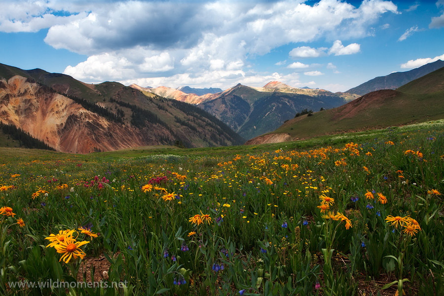 Silverton, CO, Colorado, San Juan Mountains, alpine, wildflowers, climb, hillside, views, Sneezeweed, photo