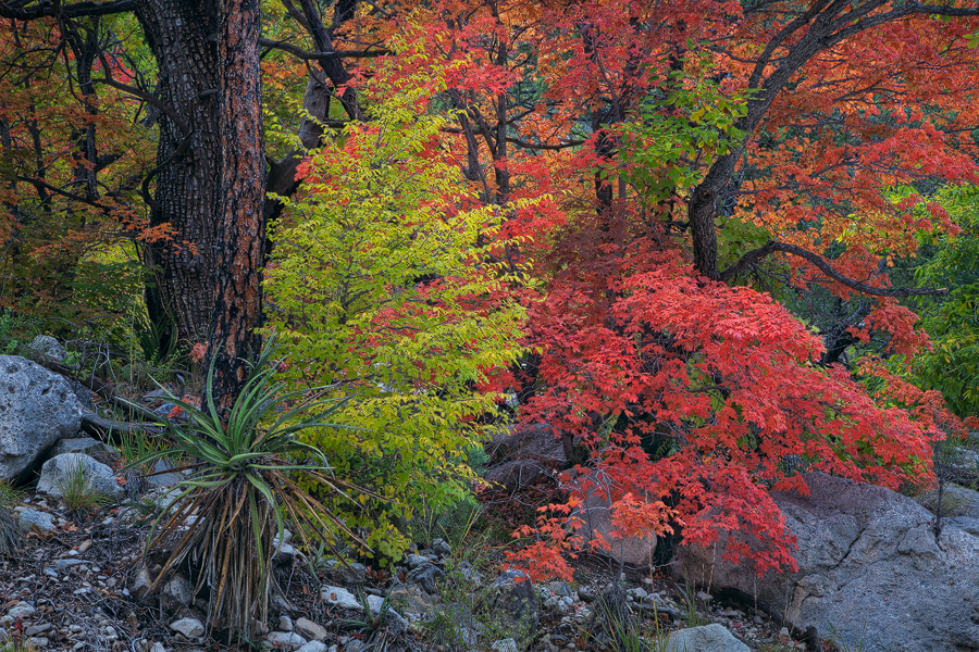 Texas, TX, Guadalupe Mountains, autumn, fall, colors, orange, yellow, pink, green, vivid, Devil's Hall trail, beautiful, display, national park, hiking, photo