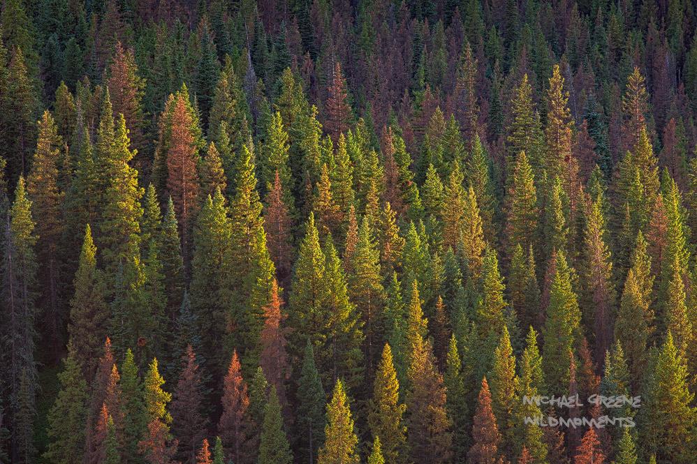 mountainside, conifers, South San Juan Wilderness, Platoro, CO, Rio Grande Wilderness, fly-fishing, photo