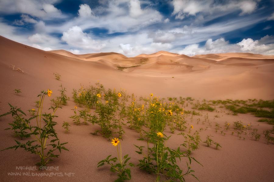 sunflowers, Great Sand Dunes, National Park, Colorado, dune, rain, sky, light, summer, monsoon, photo