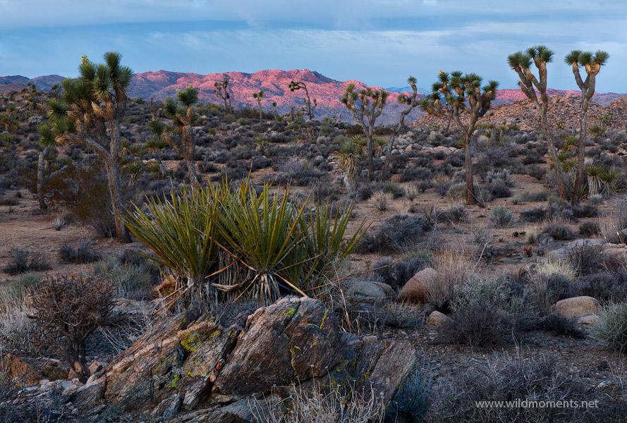 lost boyscout trail, joshua trees, joshua tree national park, CA, rocks, vistas , photo