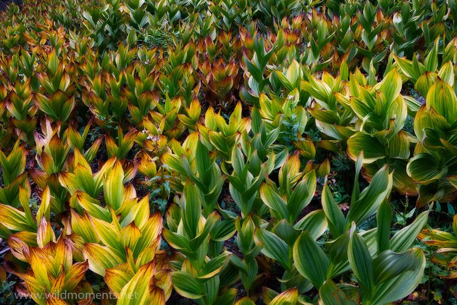 Corn lillies, false hellebore, California, Southwest, Rocky Mountain, August, color, Weminuche Wilderness, Colorado, photo