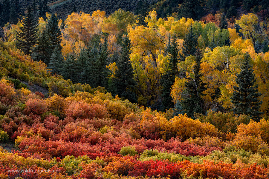 color, uncompahgre national forest, colorado, owl creek pass, cottonwoods, scrub oak, light, sunset, autumn, photo