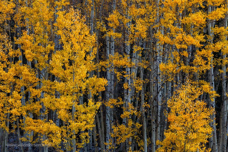 aspen, leaves, colorado, san juan national forest, season, autumn, photo