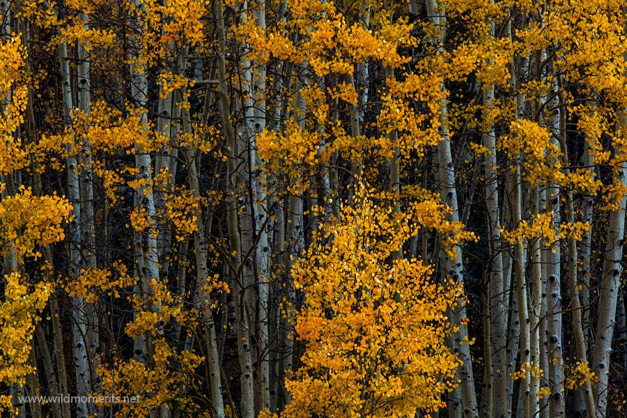 aspens, winter, autumn, san juan national forest, colorado, photo