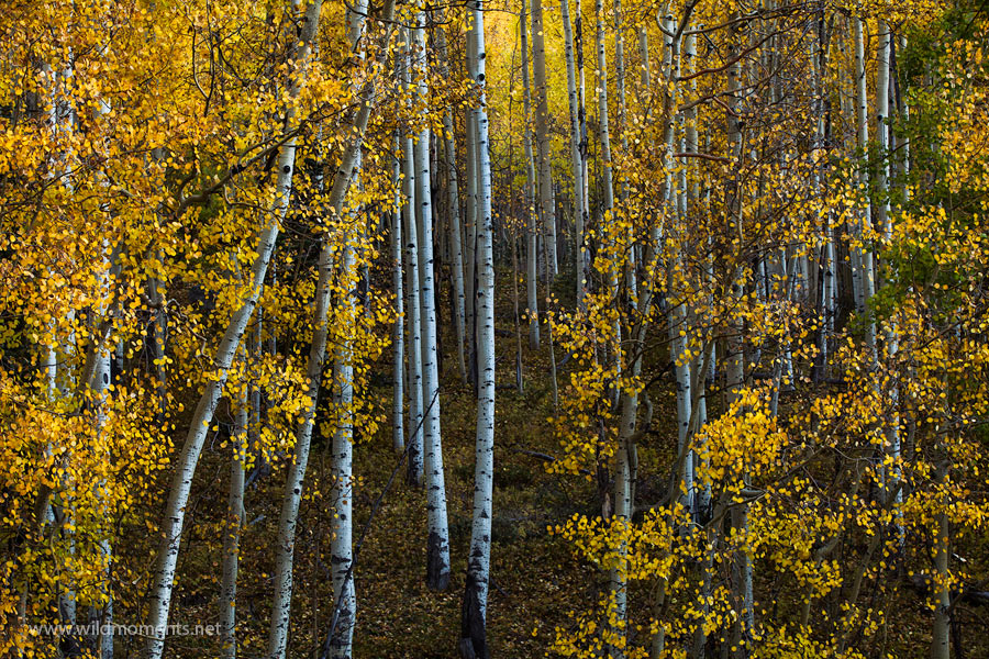 autumn, forest, red mountain pass, views, scene, leaves, aspen, October, San Juan National Forest, Colorado, CO, yellow, photo
