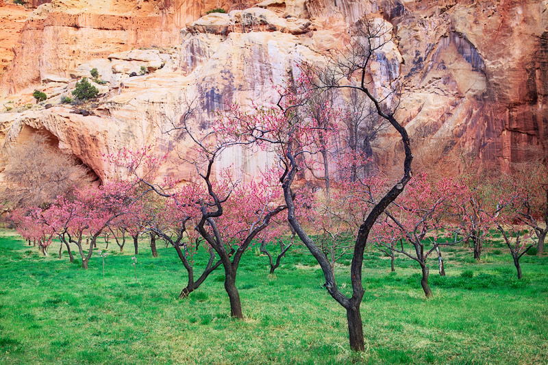 orchard, captiol reef national park, bloom, spring, buds, photo