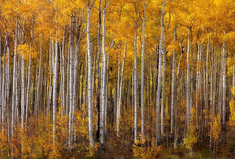 aspen trees, strand, fall, foliage, san juan mountains, colorado, photo