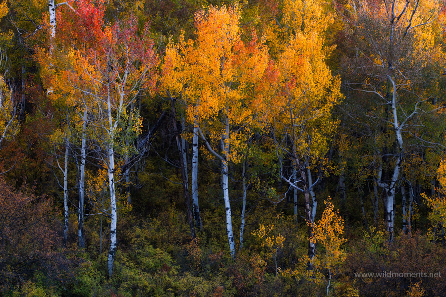 autumn, color, pattern, aspens, light, wind, uncompahgre national forest, colorado, photo