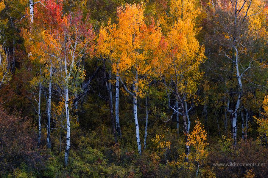 autumn, color, pattern, aspens, light, wind, uncompahgre national forest, colorado, photo