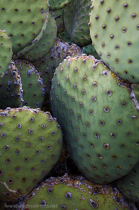 prickly pear cactus, desert, flora, Chihuahuan desert, Big Bend National Park, Texas, TX, photo