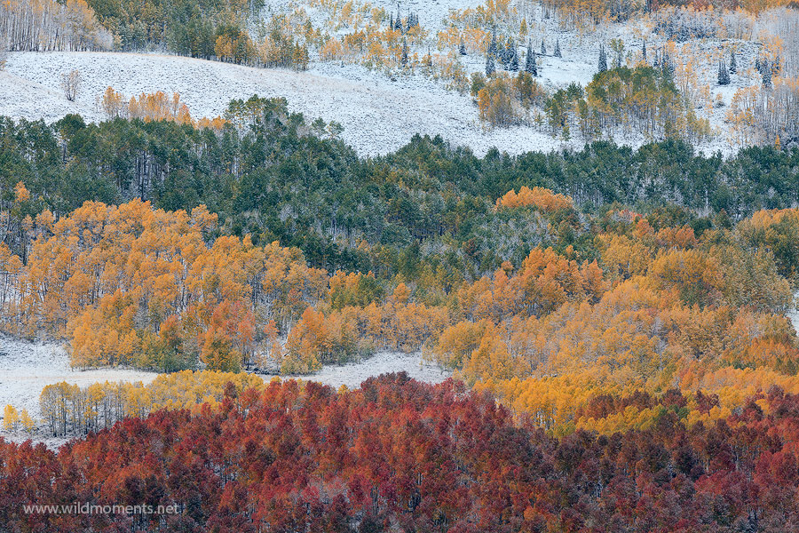 aspen, stands, red, green, yellow, irie, foliage, Crested Butte, CO, Colorado, Gunnison National Forest, photo