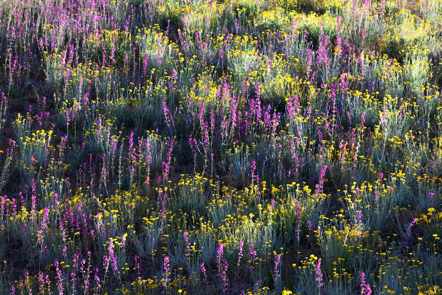 Arizona, Lupine, Brittlebrush, Apricot Mallow, desert, foothills, patterns, colors, sunlight, hillside, Phoenix, Tonto N, photo
