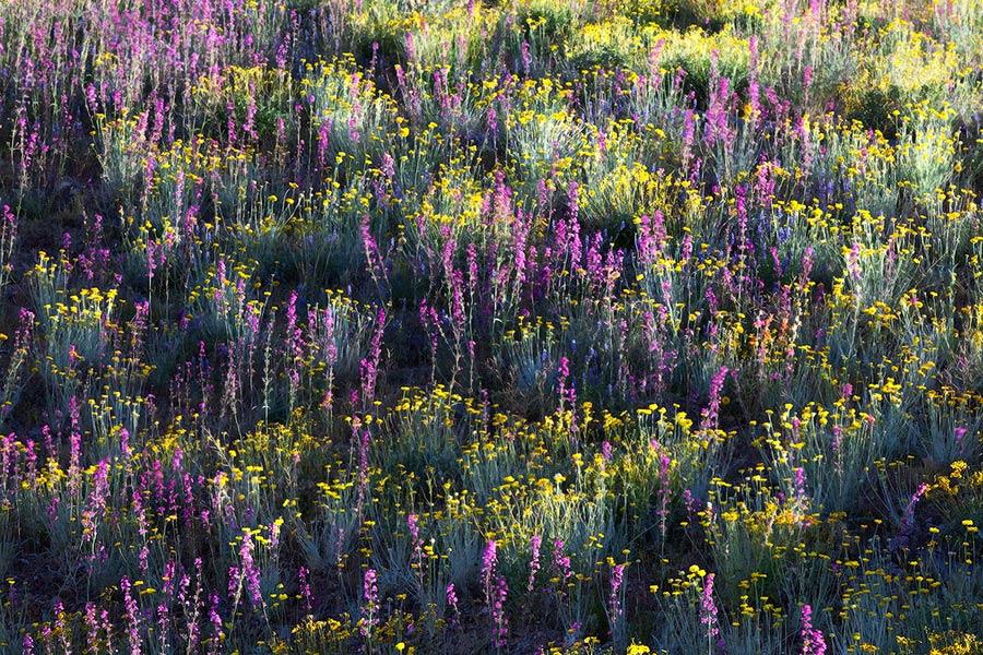 Arizona, Lupine, Brittlebrush, Apricot Mallow, desert, foothills, patterns, colors, sunlight, hillside, Phoenix, Tonto N, photo