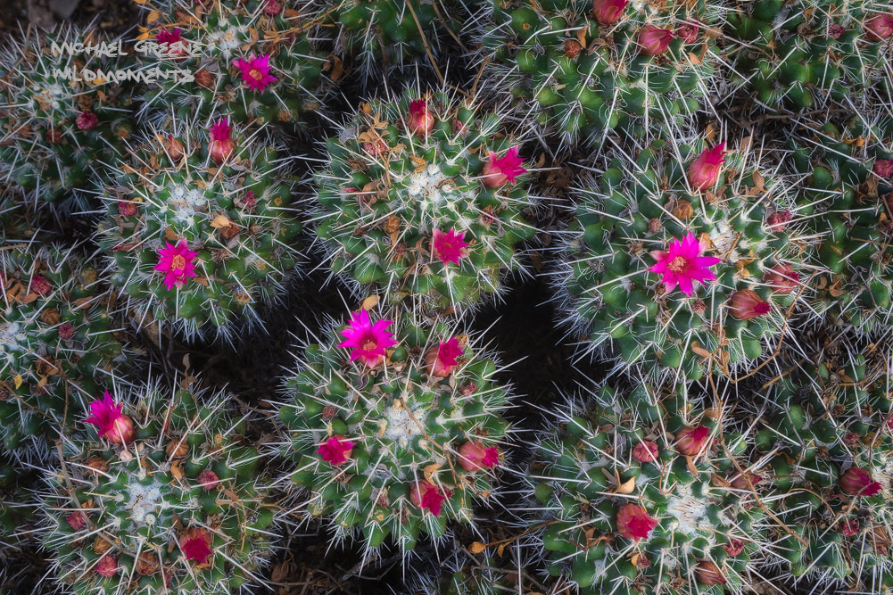 The Mother of Hundreds cactus is found in Central Mexico. I photographed this specimen at Phoenix's Desert Botanical Gardens....