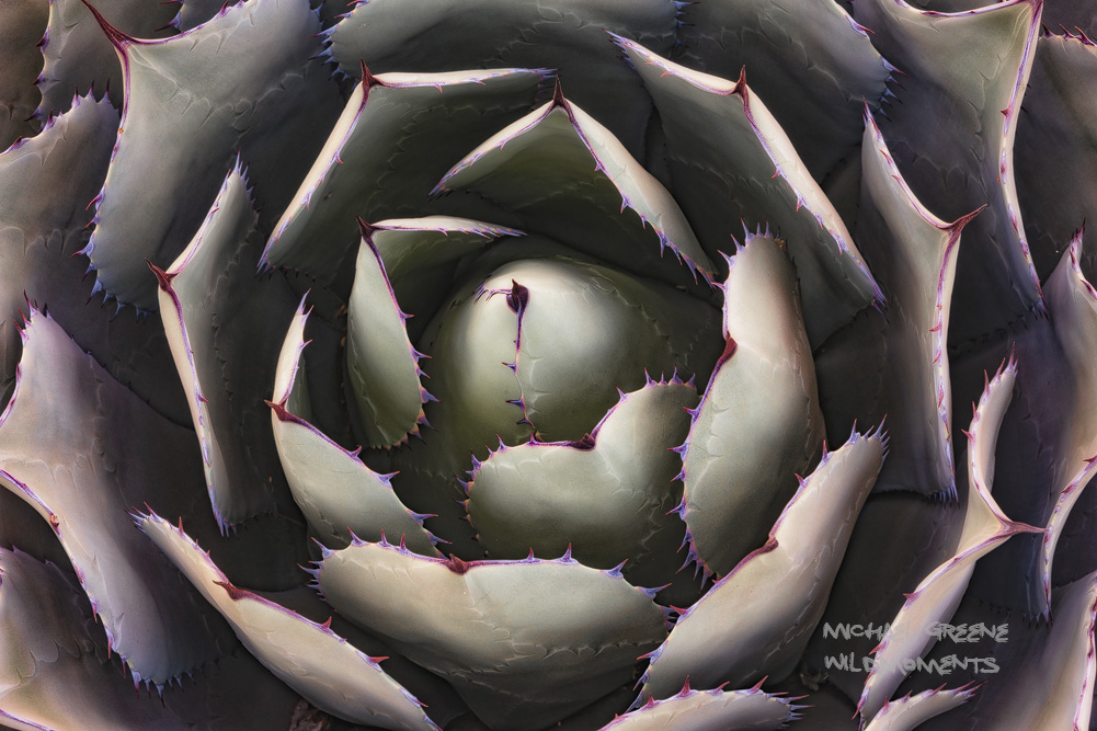 The agave is an outstanding specimen of flora for macro abstracts in the Sonoran Desert. The Desert Botanical Gardens are located...