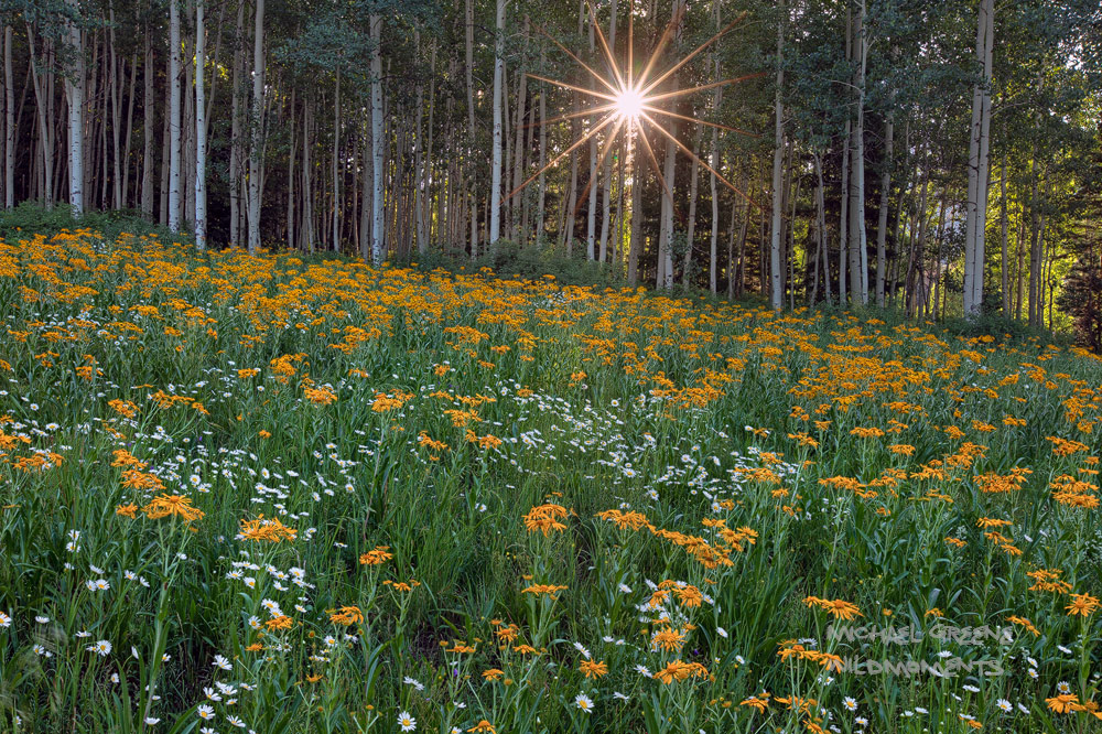 An intimate grove of aspens shelters a small, grassy meadow harboring a wildflower cornocopia ofsneezeweed and white daisies...