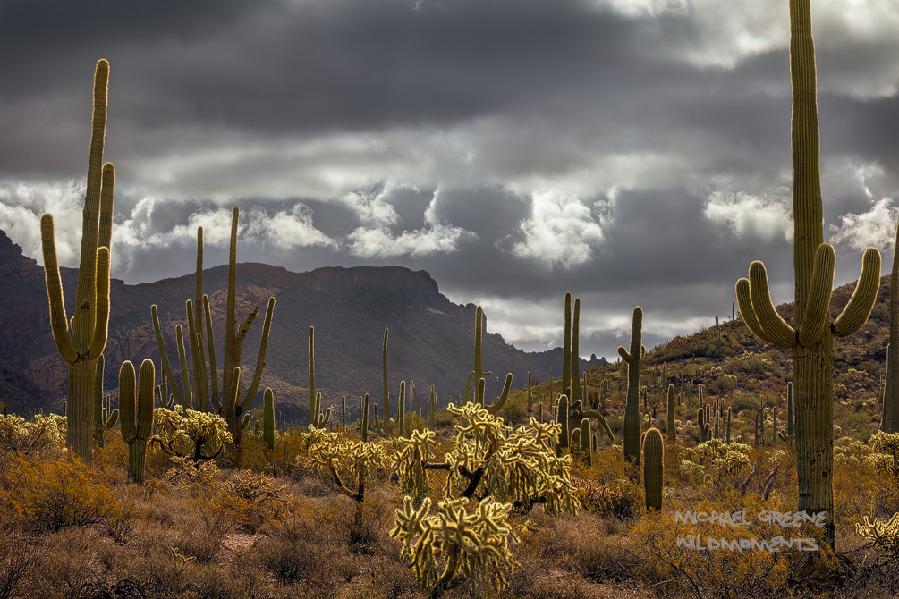 A plethora of saguaros radiate in mid morning storm light in the backcountry of Organ Pipe Cactus NM. Organ Pipe Cactus National...