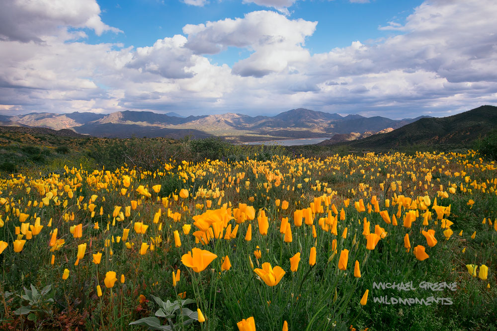 The Bartlett Lake recreation area near Carefree, Arizona is a hot spot for spring wildflowers. The 2019 bloom of poppies was...