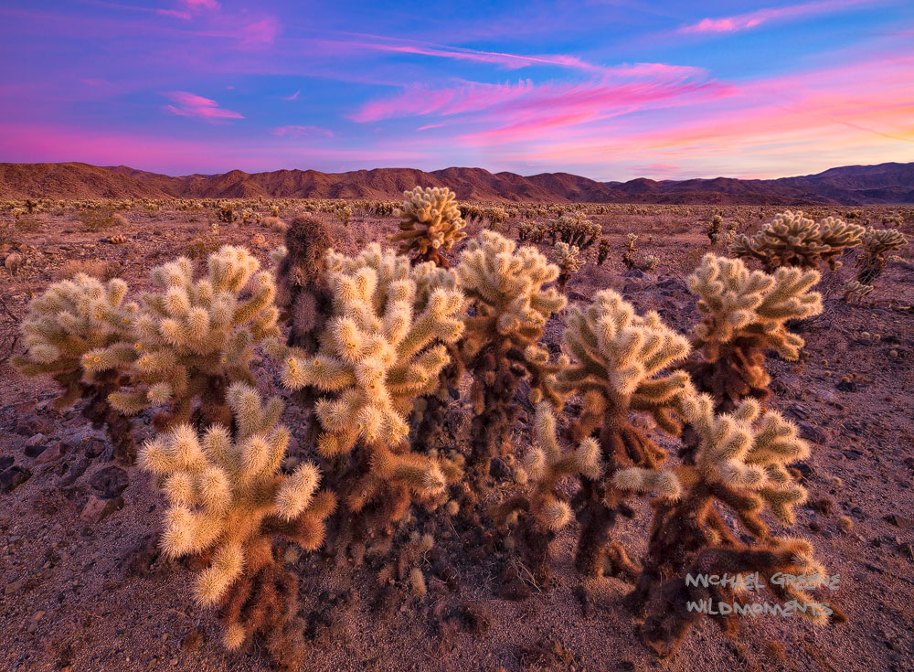 I witnessed a spectacular sunriseon a beautiful winter morning from the massive cholla field in the middle of the park....