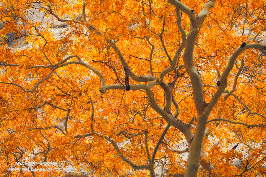 Autumn colors grace a massive sycamore tree buried deep in a hidden and relatively unknown slot canyon in the Aravaipa Wilderness...