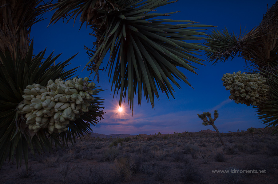 A creative composition integrating a rare Joshua Tree bloom in combination with a full moon set during the brief minutes of early...