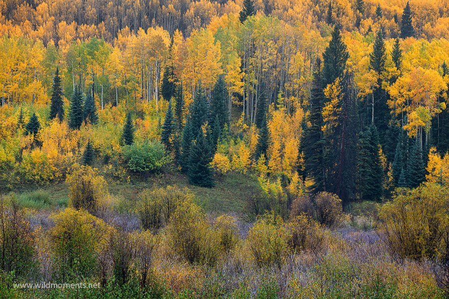 This interesting autumn scene reminded me of a meeting. It was the last capture of the evening in late September on Kebler Pass...