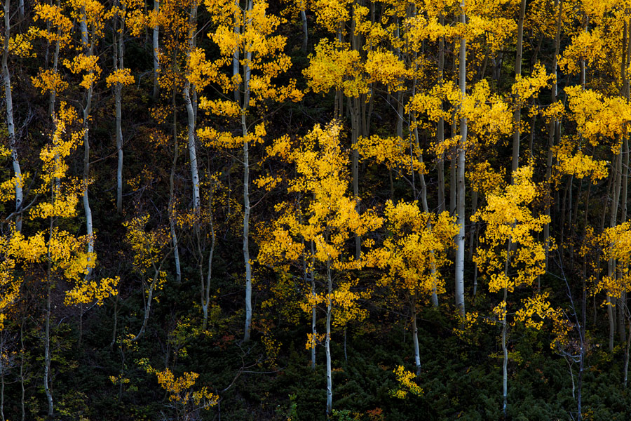 I was fortunate to capture this scene at a time of peak foliage during perfectly still conditions. This stand of small and delicate...