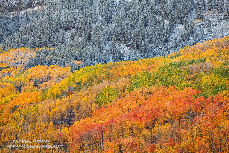 An incredible display of autumn color the morning after a light snow in the mountains outside of Crested Butte, Colorado.