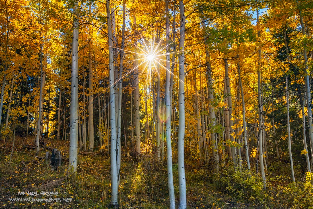 Sunshine bursts through a remote stand of aspens in the San Juan National Forest. This scene was captured in late autumn on Middle...
