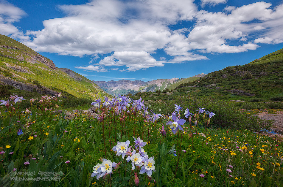 A unique array of Columbine wildflowers captured my attention while hiking in the San Juan Mountains outside of Telluride on...