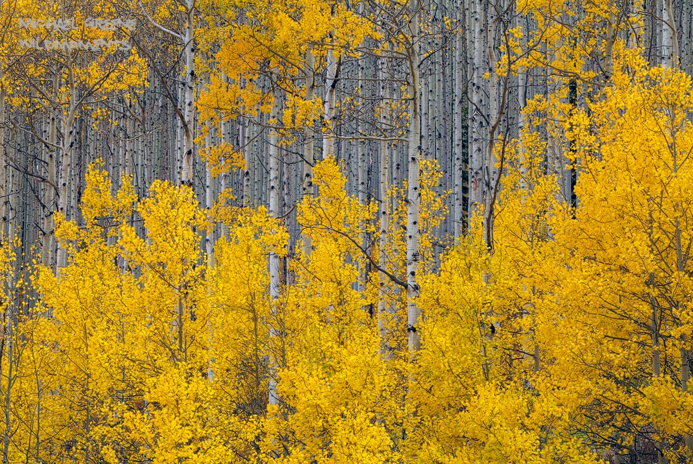 A picturesque grove of golden aspen trees shines in late afternoon, autumn storm light. Captured after a fresh rainfall on Castle...