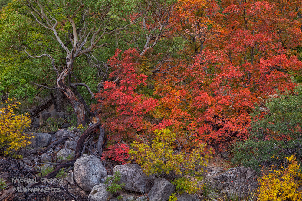 The fascinating Texas madrone is abundantly found in Guadalupe Mountains National Park in West Texas. This specimen was captured...